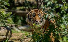 Lataa kuva tiger, predator, Lissabonin eläintarha, vaarallisia eläimiä, Portugali, Lissabonin