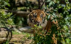 Download wallpapers tiger, predator, Lisbon zoo, dangerous animals, Portugal, Lisbon