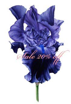 Sale 20% Off Black Iris  Large botanical print  11x16 or