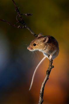 Striped field Mouse / Ratón de campo (Apodemus agrarius)
