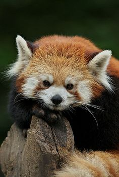 wish i could have a red panda for my girls...