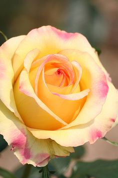 Pink tipped yellow rose (by goldenlo02, via Flickr)