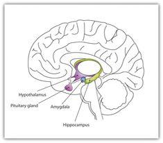Simple limbic system diagram brain images pinterest diagram simple limbic system diagram brain images pinterest diagram and brain ccuart Gallery