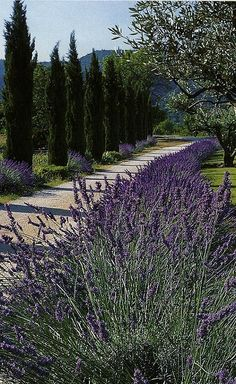 Lavender grows wild on the side of the road as cypress tress stand like sentinels keeping watch in a hidden corner of Provence, France