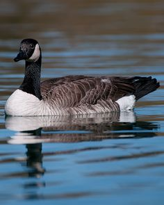 The real Canada Goose! Not that preppy jacket that everyone is wearing despite the fact that it has coyote trim! My guess is that 90% of the wearers don't know this and 50% don't care!