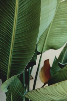 Plants + Animals >> Big plant leaves. Photo by Milk & Mead