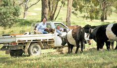 """See us in the Weekly Times Now, """"Marketing to Meat the Market: Allen and Lizette Snaith from Warialda Belted Galloways stud at Clonbinane.""""    The Snaiths have made a business of marketing just about every bit of the animal from the """"nose to the tail"""" including the offal and tanned hides.    """"It is no good breeding lovely looking cattle, unless you can sell the beef,"""" Allen says.    """"The market for our cattle, including live animals is driven by people eating beef."""" Live Animals, People Eating, Cattle, Homesteading, Places To Go, This Is Us, Australia, Beef, Times"""