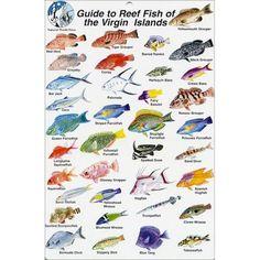 virgin islands fish images | Fish Identification Cards - Reef Fish - British Virgin Islands - 9 x 6