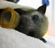 adorable baby bat in care <3