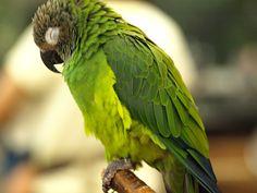 I miss my dusky conure such loving fun sweet birds