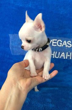 Effective Potty Training Chihuahua Consistency Is Key Ideas. Brilliant Potty Training Chihuahua Consistency Is Key Ideas. Chiots Teacup Chihuahua, Chihuahua Puppies For Sale, Teacup Puppies, Chihuahua Love, Cute Puppies, Dogs And Puppies, Chihuahua Miniature, Cute Baby Animals, Funny Animals