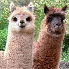 Happy lamas