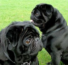 Searching to find affordable dog harnesses for your Pug or other small dog? www.chic-dog-boutique.com has them!
