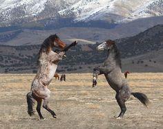 Mustangs in Utah. Photographer Gene Praag's striking images of Utah's Onaqui mustang herd. «Standing Tall» de Gene Praag