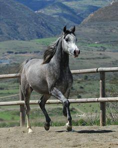 HE3307504 - Semental Prá 1,60 hijo del Bronce del Ctº del Mundo 2012 Horses, Animals, World, Horses For Sale, Bronze, Animales, Animaux, Animal, Animais