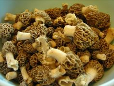 Hunting and cooking Wild Morel Mushrooms