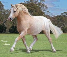 Welsh Mountain Pony (Section A) palomino roan stallion Andalusian Horse, Friesian Horse, Palomino, Arabian Horses, Cute Horses, Pretty Horses, Beautiful Horses, Poney Welsh, Black Horses