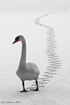 The Mute Swan (Cygnus olor) by Karl Williams Beautiful Birds, Animals Beautiful, Beautiful Pictures, Cute Animals, Beautiful Swan, Animals In Snow, Hello Beautiful, Funny Animals, Cygnus Olor