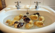 Baby ducks! Baby ducks in a sink!!!!!! Oh my gosh! Fly away home flashbacks!