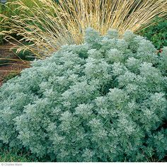 I love artemisia — and it doesn't mind the heat and drought. Perfect!