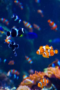 clown fishes. I have black and orange Shuffles (black) Nemo and Torch