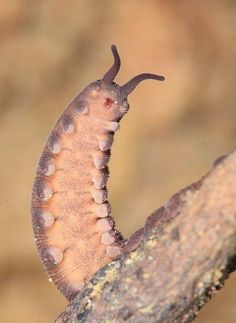 Cool Insects, Bugs And Insects, Animals And Pets, Baby Animals, Cute Animals, Cute Creatures, Beautiful Creatures, Velvet Worm, Fauna Marina