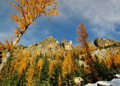The search for golden larches .... along the Blue Lake Trail by Rainy Pass.
