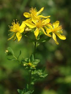 The Herb Gardener: How to Grow St. John's Wort
