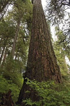 You'll walk past enormous Douglas Firs and Hemlocks, some of which are estimated to be around 500 years old.