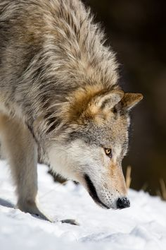 """magicalnaturetour: """" """"Grey wolf (canis lupus) tracking down in snow"""" by Christophe JOBIC """" Wolf Photos, Wolf Pictures, Beautiful Creatures, Animals Beautiful, Tier Wolf, Malamute, Wolf Hybrid, Wolf World, Wolf Love"""