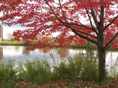 Red maple tree photograph by WaterDropletDesigns on Etsy