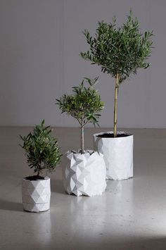 3 Different Sized Olive Trees in Growth Origami Plant Pot