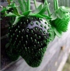 super sweet black strawberries / strawberry seeds - heirloom, rare, wild, exotic