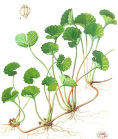 Gotu Kola is one of my favorite herbs for any type of skin ailment, but specifically for wound healing and varicose veins. Gotu Kola contains constituents named triterpenoids, which in lab studies have shown strengthen the skin, boost antioxidants in wounds, and increase blood supply to the injured area. These properties make gotu kola wonderful for topical use on burns, abrasions, psoriasis and preventing scars/stretch marks.