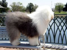English sheep dogs
