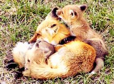 Fox kits annoying their mother.