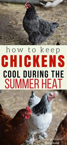 How to keep your chickens cool during the hot summer months.