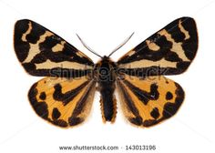 The wood tiger (Parasemia plantaginis) male. Species with warning colours. - stock photo