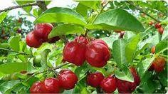 Semerucas (aka acerola, Barbados cherry, etc.