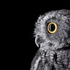 Western Screech Owl from: Who's Who | Audubon - Photographer Brad Wilson's photographic portraits of owls.