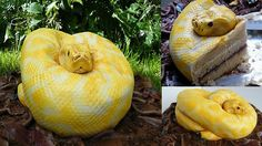 Snake Cake! (Albino python cake by Francesca Pitcher from North Star Cakes)