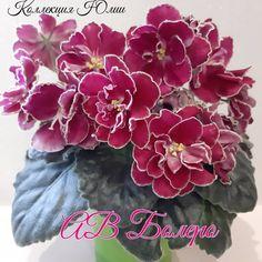 AV-Bolero / АВ-Болеро • A. Tarasov • 2017 • Standard • Large double wavy white stars with red seals and a white pencil border. Serrated dark green leaves. Russian #AVBolero #tarasovViolets #RussianViolet#AVSA #AfricanVioletSocietyOfAmerica #AfricanViolet #IndoorPlant #Houseplant #saintpaulia #senpolia #AfricanVioletLovers #flowers #bloom #blooms #fialki #fialka #flowerpower #AfricanVioletLovers 