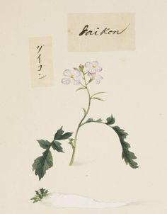 "Daikon radish, Kawahara Keiga picture book Vol.2 ""botanical art"""