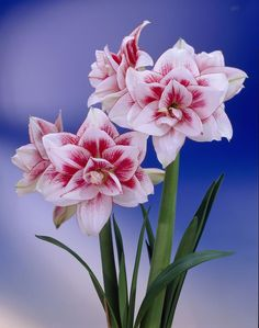 Elvas Double Amaryllis HIPPEASTRUM - Elvas Amaryllis Bulb 2 PcsWhite with a burst of red in the center.Amaryllis; the very word means dazzling. These