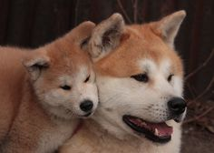 "The AKITA INU or KEN AKITA (秋田 犬, literally ""Akita dog"") and simply AKITA........SOURCE BING IMAGES..........."
