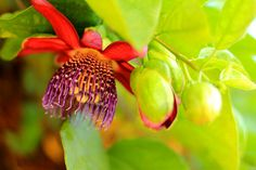 Passion Flower  Tropical Garden Photo Print  by MermaidSightings