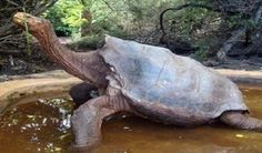 Os presentamos a Diego, la tortuga que llenará el vacío de Solitario George en las Galápagos