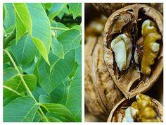 NUCILE și FRUNZELE de nuc – remedii pentru TIROIDĂ Natural Health Remedies, Plant Leaves, Clever, Healthy Recipes, Plants, Food, Diet, Essen, Healthy Eating Recipes