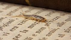 Come eliminare i pesciolini argentati | Tanti rimedi semplici e naturali che vi aiuteranno a eliminare i fastidiosi parassiti della carta: i pesciolini argentati.