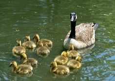Google Image Result for http://www.scenicreflections.com/ithumbs/Mother_goose_and_ducklings_Wallpaper_aqgjc.jpg